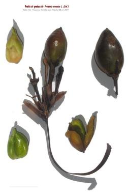 Frutos de la Posidonia