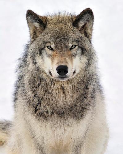 Lobo-tony-beck