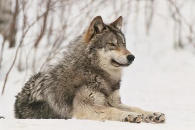 lobo descansando