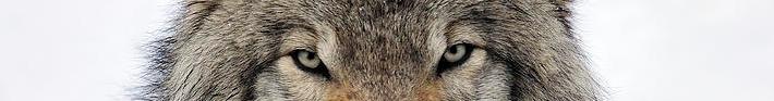 ojos Lobo-tony-beck
