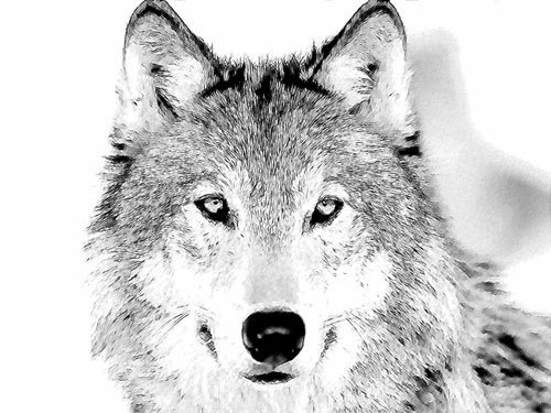Wolf-Sketch-wolves-916016_500_375