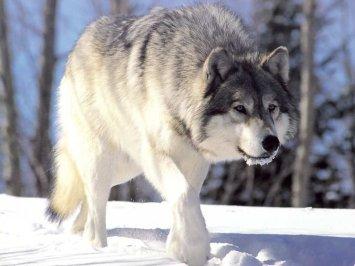 wolf_13